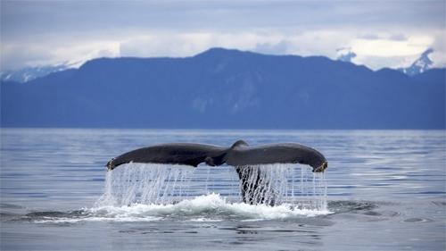 La saison de la baleine